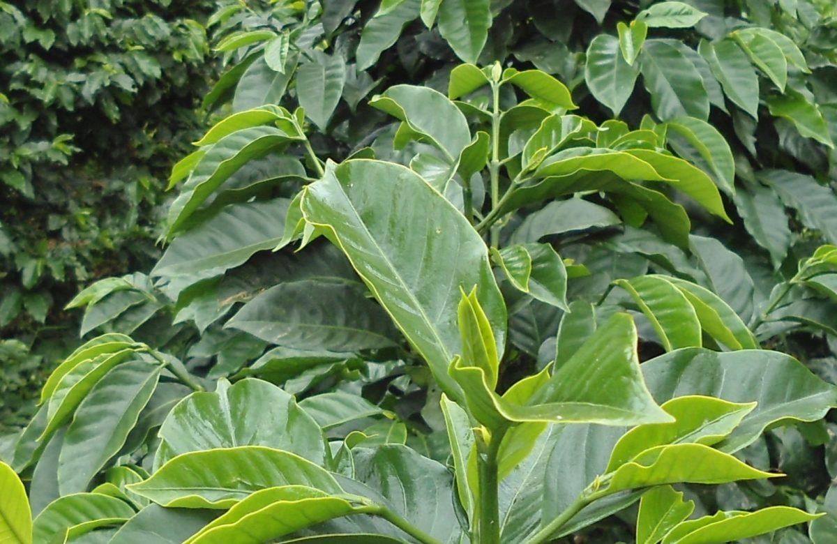 cropped-coffee-plant-e1462461515402