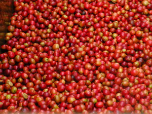 Fresh Coffee Cherries